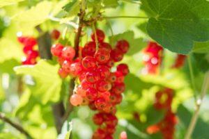 Najlekovitija voćka: Jedna šaka dnevno uništava ćelije raka, leči jetru i …