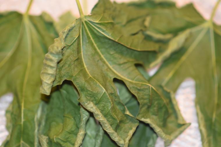 List smokve: Leči dijabetes, rak, čir na želucu i pomaže pri mršavljenju!