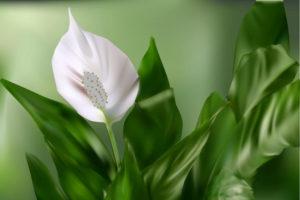 Pozitivno utiče na psihu,donosi bogatstvo- Cvet neobične lepote.