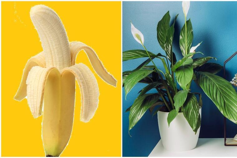 Svi koji su probali oduševljeni su. Kora od banane kao prirodno đubrivo.