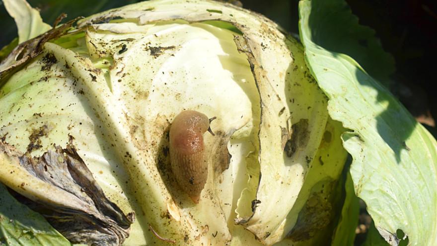 Spasite vaše biljke od puževa.Najlakši način da ih otjerate čili paprikom.